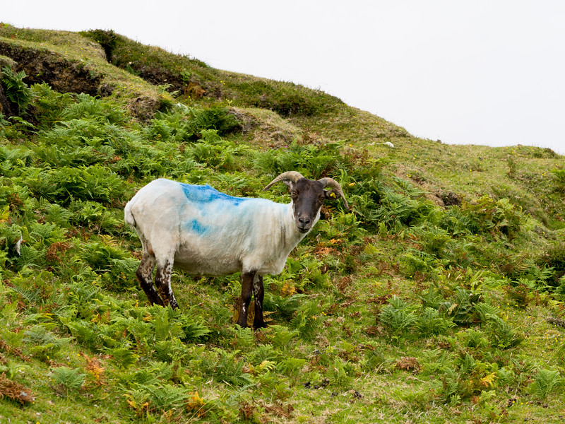 Sheared Sheep on a hill, Erris Peninsula, Erris Head Loop Walk, Glenamoy, Belmullet, County Mayo, Ireland