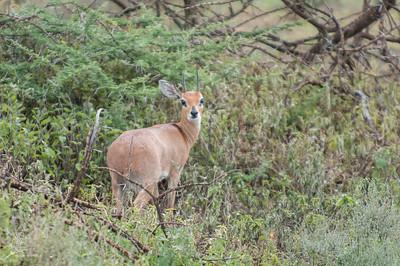 Antilope, Steenbok- (spp. naumanni)