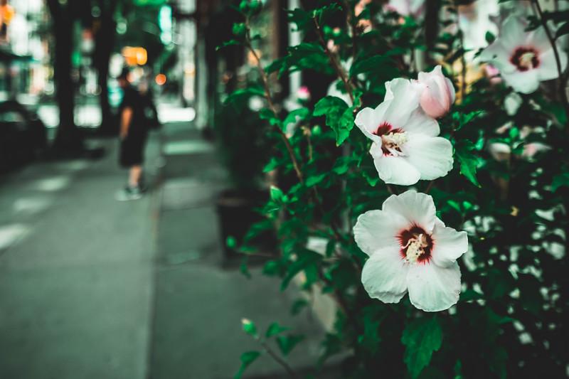 Hibiscus in the village.jpg