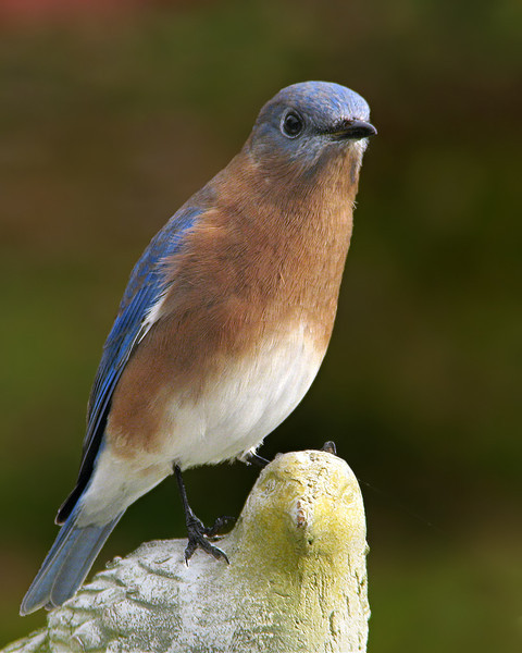 bluebird_8988.jpg