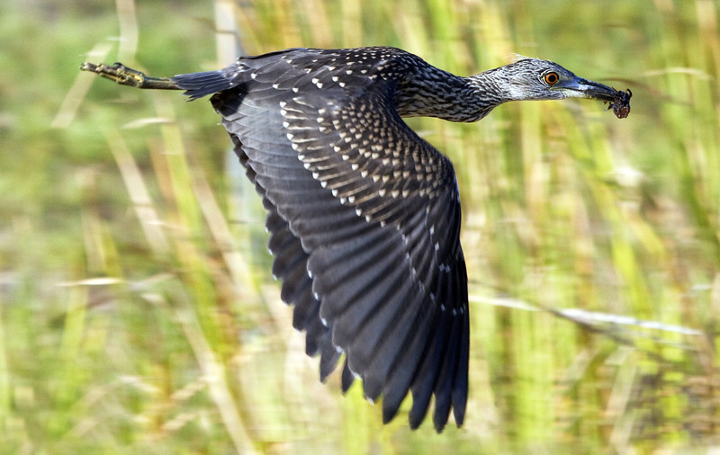 Another view of a Juvenile yellow crested night heron flying off with its catch