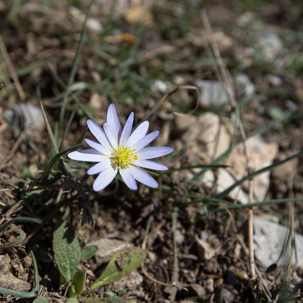 aladaglar, anemone blanda, eastern blue wood anemone