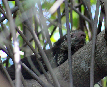 Porcupine, Mexican