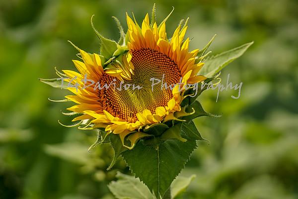 Thompson Sunflower Farm 7/25/21