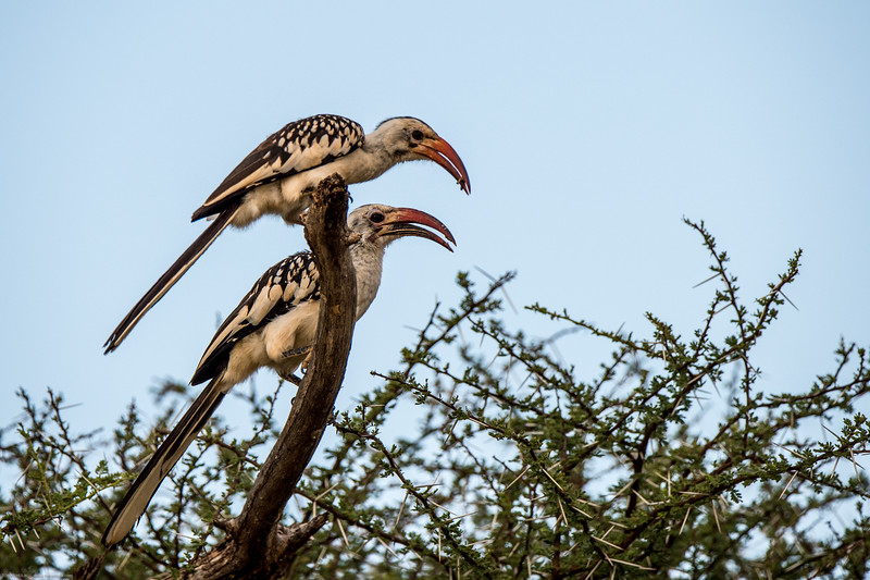 Red-billed hornbill, Tockus erythrorhynchus-1.jpg