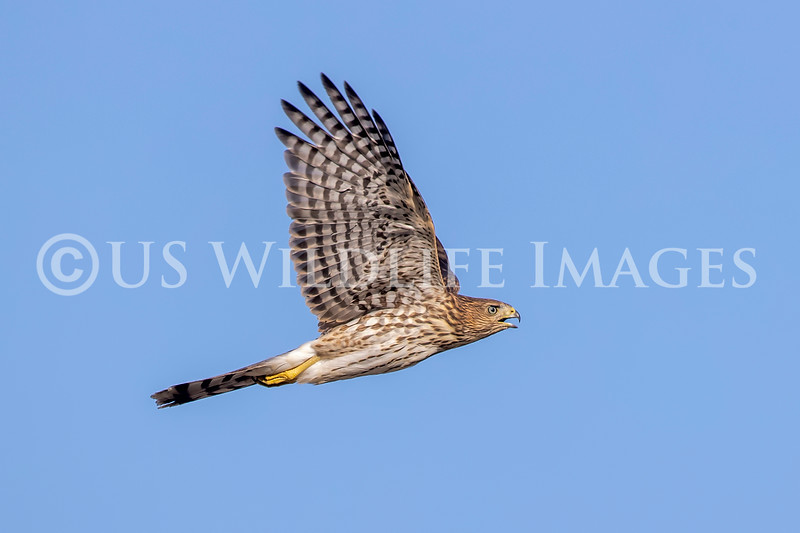 Coopers_Hawk_in_Flight_AL3I1726.jpg