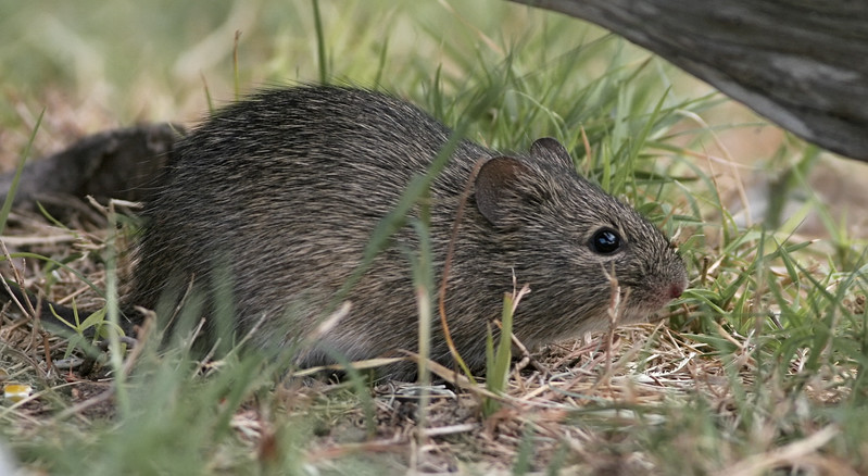 Hispid Cotton Rat