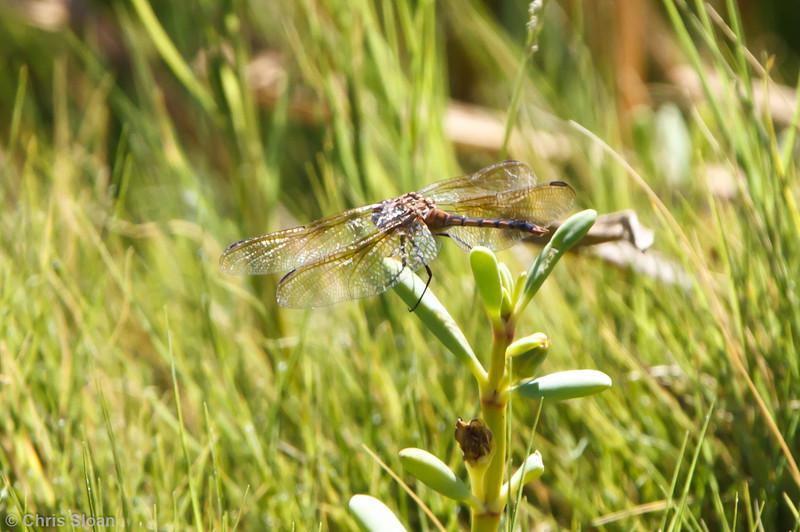 Spot-winged Dragonfly at Punta Moreno, Isabela, Galapagos, Ecuador (11-23-2011) - 833.jpg