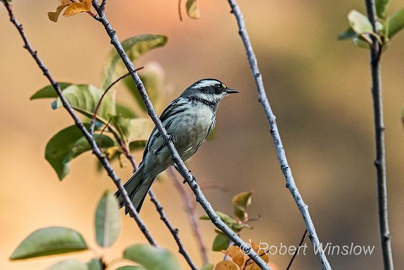 Black-throated Gray Warbler, Setophaga nigrescens, La Plata County, Colorado, USA, North America