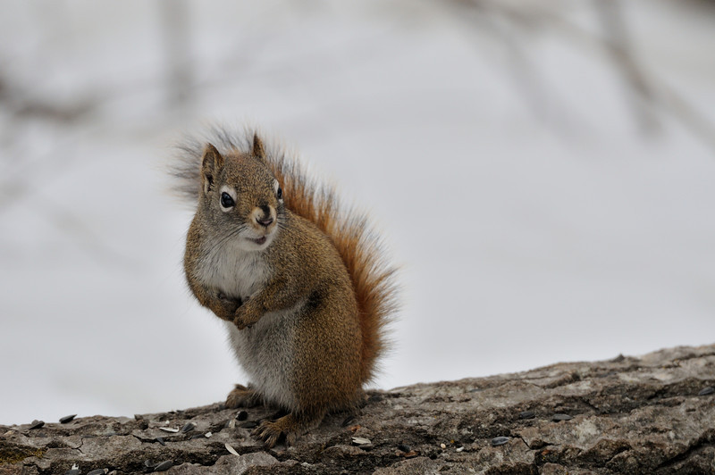 A young squirrel shows no fear as it collects seeds left by a nature walker in early spring, in the woods south of Big Lake