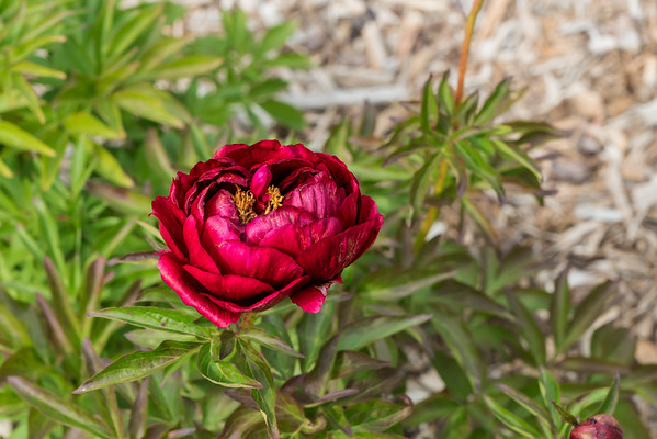 Rosedale peony (Bed 23), Officinalis x Albiflora