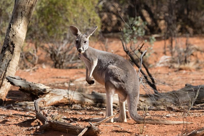 Red Kangaroo ♀