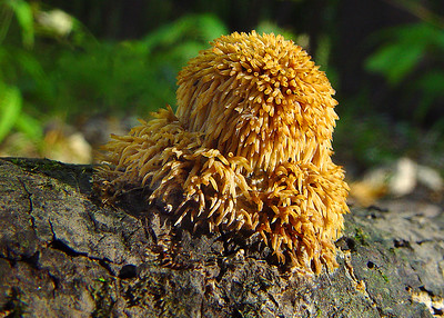Toothed Fungi
