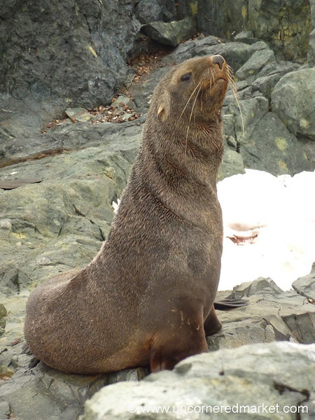 Fur Seal on Detaille Island - Antarctica