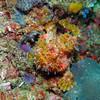 Yellow Frogfish<br /> Bali