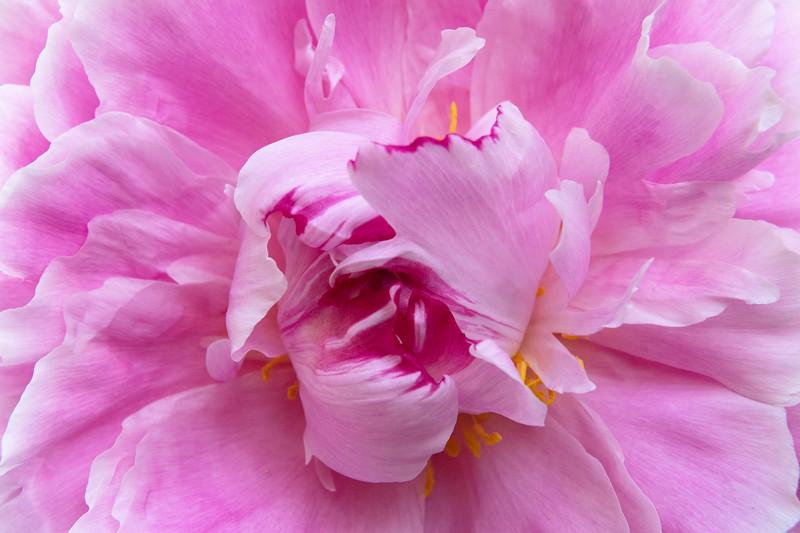 PinkPeonyMYYARDcloseupMay2020.jpg