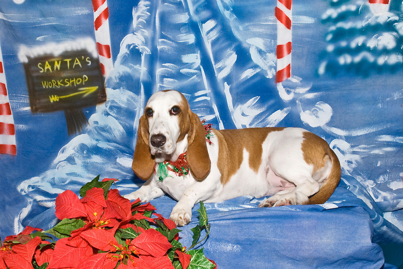 Myranda, a Basset Hound, is owned and loved very much by Robyn Sadler.