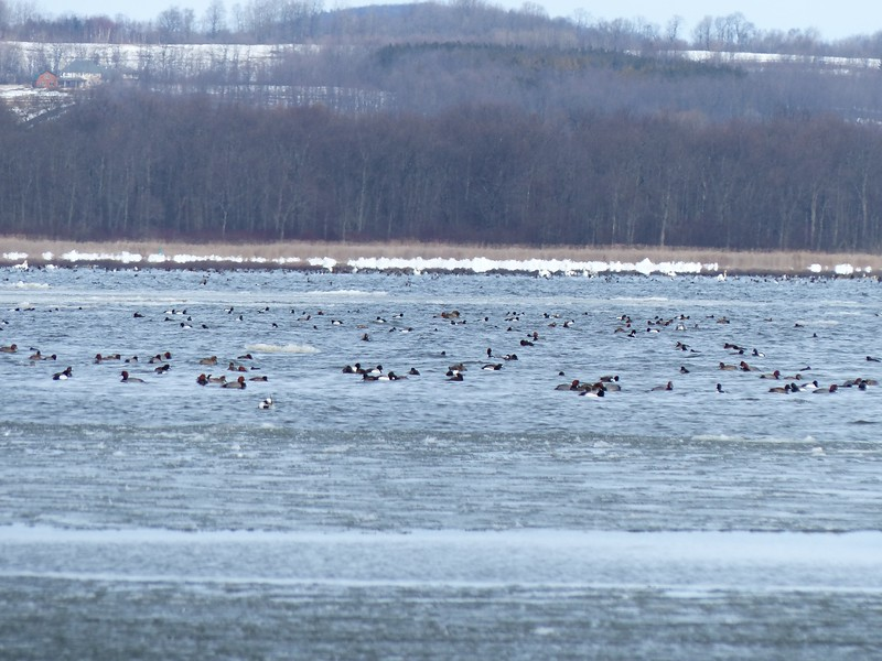 Ducks seen east of Calf Pasture included Long-tailed Duck, Greater Scaup and Redhead.