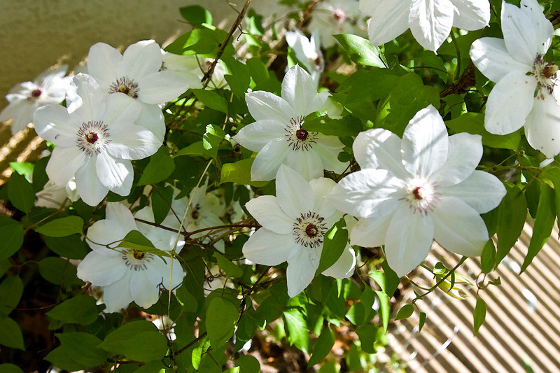 many_clematis.jpg