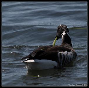 Swans, Geese, Brants