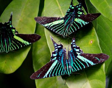 Moth, Green Page Moth