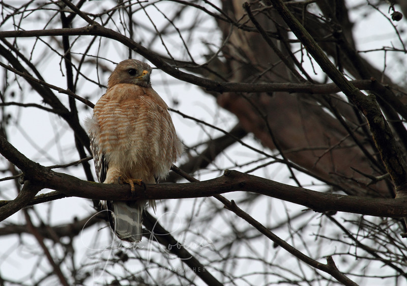 Red-shouldered Hawk near empty nest