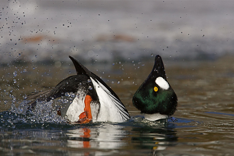 This guy's antics are a typical part of the Goldeneye's courtship ritual.