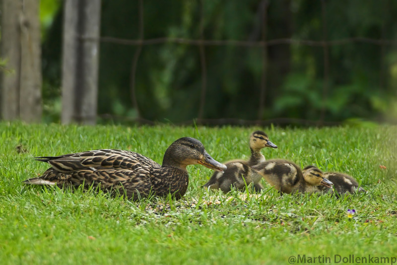 Mallard hen with ducklings, they come up from the swamp out back and clean up the birdseed, so I put out some grain for them.