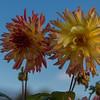 Chrysanthemum at the Botanic Garden in Dublin.