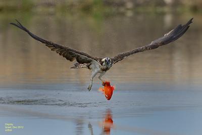 ospreys@hazorea