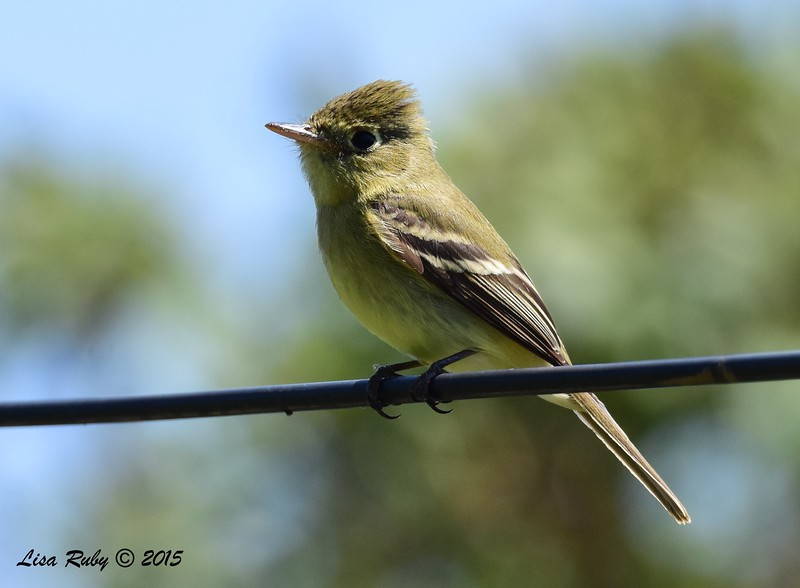 Pacific-slope Flycatcher - 5/10/2015 - Fort Rosecrans National Cemetery