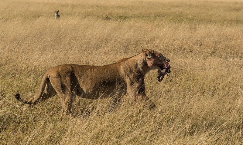 A_3_2006_A_Female Lion with food being watched by a Jackal .jpg