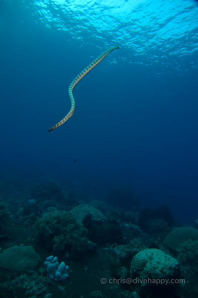 Sea Snake Heading For Surface at Manuk, Banda Sea © Chris Mitchell