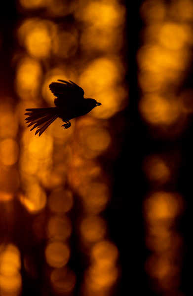 Black-capped Chickadee at feeder backlit backlighting Skogstjarna Carlton County MN  IMGC9371.jpg