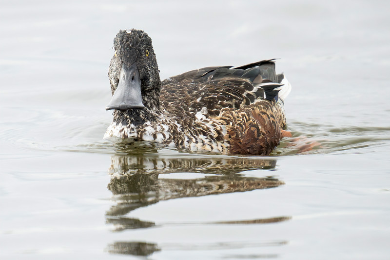 Northern Shoveler at Don Edwards Refuge (South Bay)