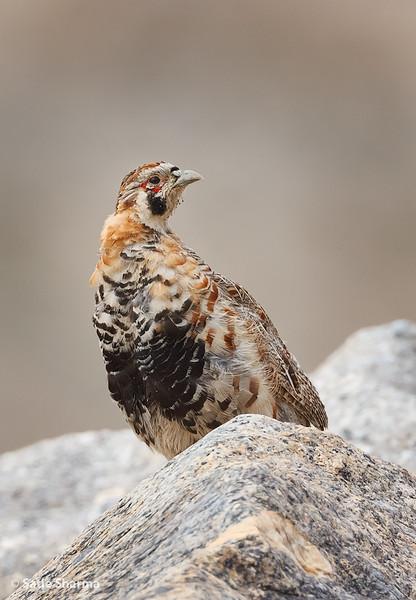 Tibetan Partridge