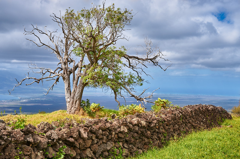 Koa Tree and Lava Rock Wall, Maui