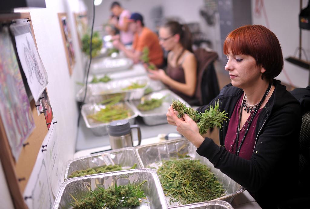 . DENVER, CO. DECEMBER 17: Lala Herzog trims Marijuana leaves at Medicine Man marijuana dispensary in Denver, Colorado on December 17, 2013. (Photo by Hyoung Chang/The Denver Post)