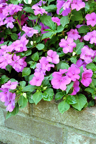 pink or violet impatiens flowers in brick planter