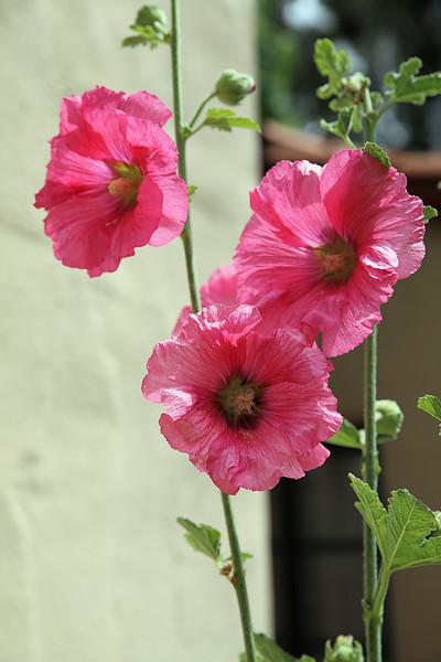 Three pink.jpg