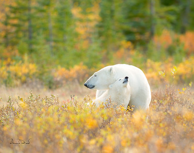 POLAR BEARS IN FALL