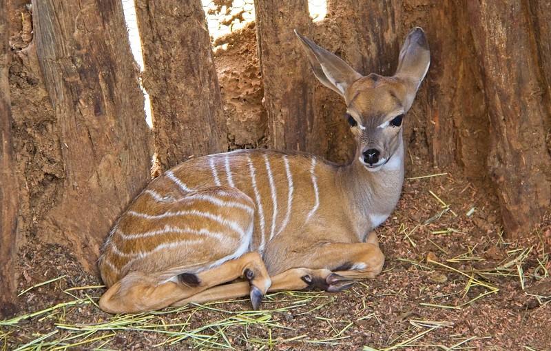 Baby Lesser Kudu