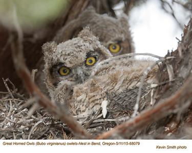 Great Horned Owls N68079 .jpg