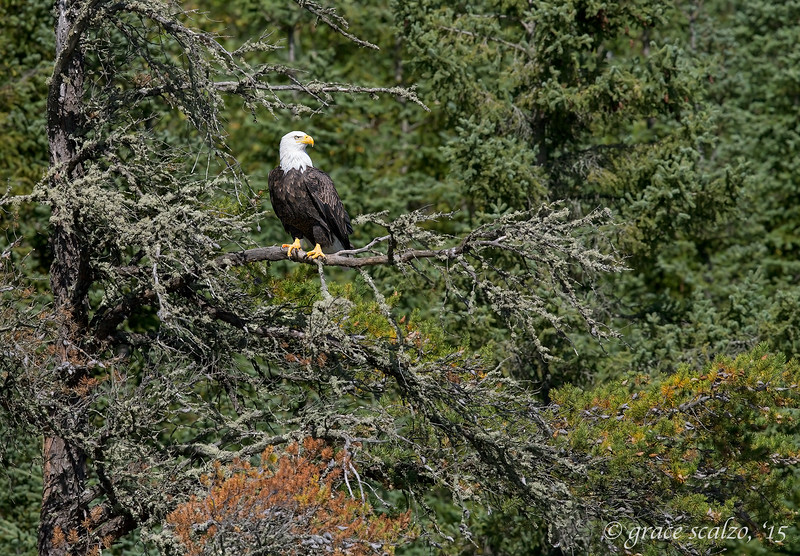 Bald Eagle in Habitat
