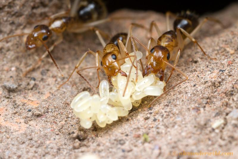 Camponotus workers tend to eggs deep in the nest.  Yandoit, Victoria, Australia