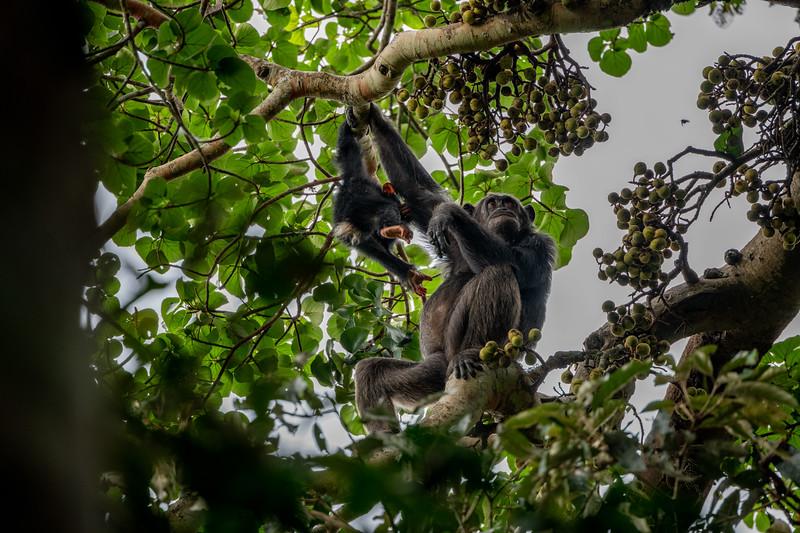 Uganda_T_Chimps-1280.jpg