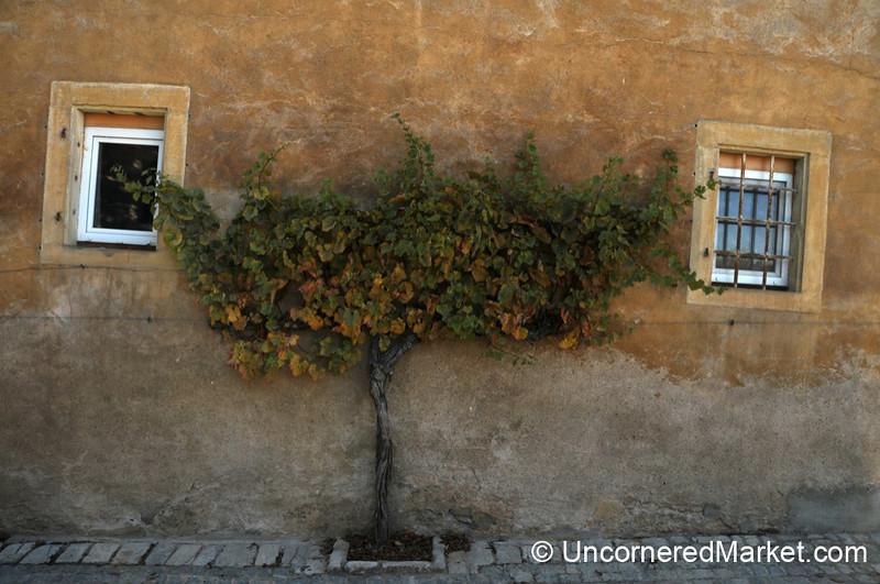 Grape Vines Growing Everywhere - Frickenhausen, Germany