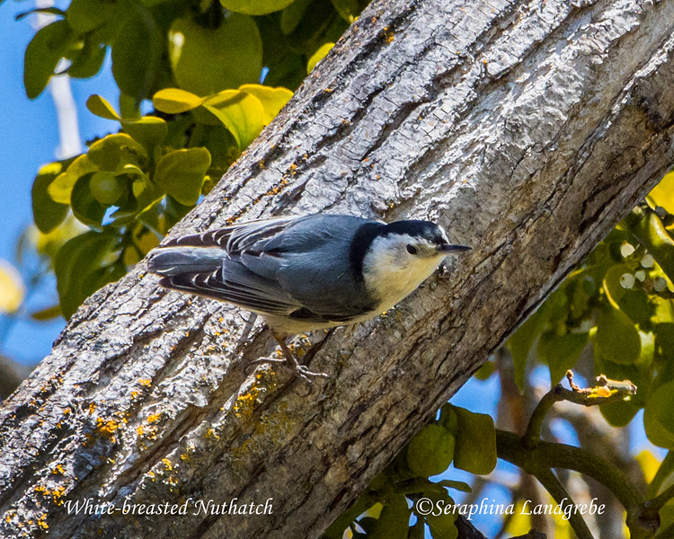 _DSC1716White-breasted Nuthatch.jpg