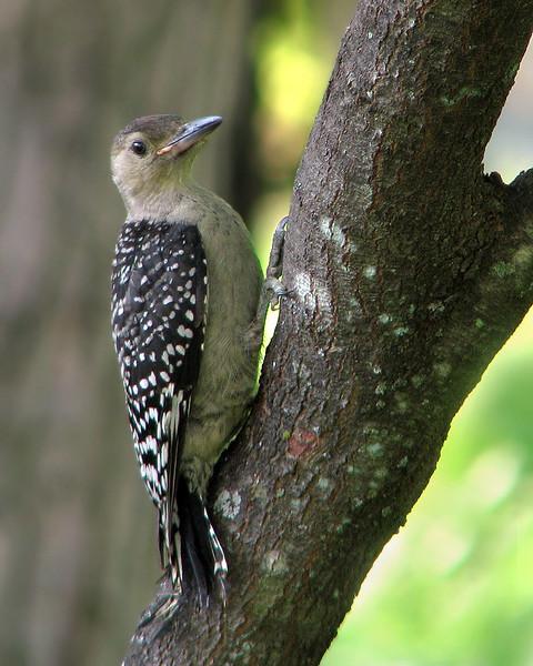 red_bellied_woodpecker_fledgling_3486_1.jpg