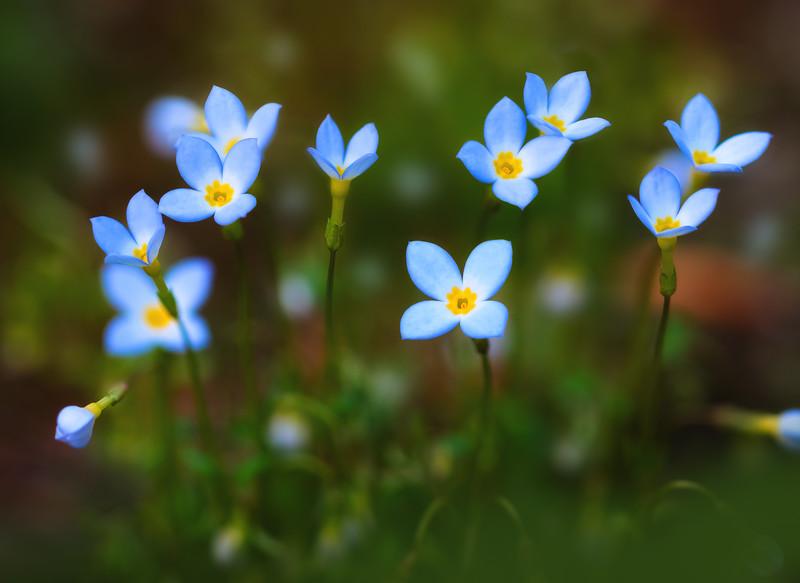 Tiny Flowering Bluets